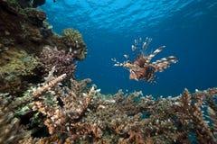 Lionfish und Acropora. Lizenzfreies Stockfoto