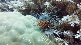 Lionfish under water and underwater world. Leyte, Philippines.