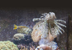 Lionfish in underwater ambiance Stock Photos