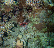 Lionfish. Underwater landscape. Red sea coral reef, red lionfish swimming near the bottom Stock Image