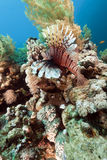 Lionfish and underwater scenery in the Red Sea. Royalty Free Stock Photography