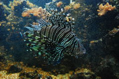Lionfish underwather. The lionfish in an aquarium Stock Images