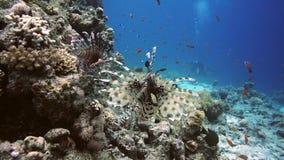 Lionfish unter bunten kleinen Fischen im Korallenriff Unterwasser stock video