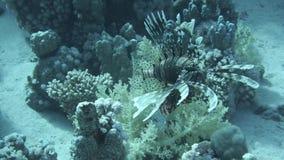 Lionfish unter bunten kleinen Fischen im Korallenriff Unterwasser stock footage