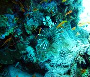 Lionfish venenoso dos peixes, peixe da zebra Pesque no Mar Vermelho foto de stock