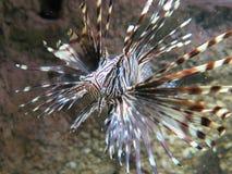 Lionfish vermelho Fotos de Stock Royalty Free