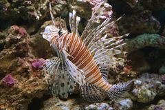 Lionfish vermelho Imagem de Stock Royalty Free
