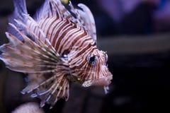 Lionfish vermelho Imagem de Stock