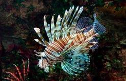 Lionfish vermelho fotografia de stock