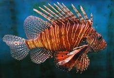LionFish vermelho gigante Fotos de Stock Royalty Free