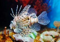 Lionfish vermelho. Volitans do Pterois Fotos de Stock Royalty Free