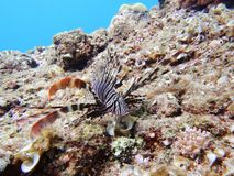 Lionfish Stock Images