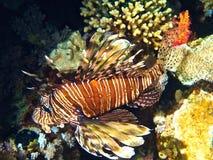 Lionfish (volitans del Pterois) del Mar Rosso Fotografie Stock
