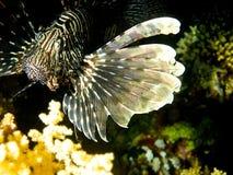 Lionfish (volitans do Pterois) Imagens de Stock Royalty Free