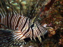 Lionfish Volitans Hunting Royalty Free Stock Images