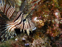Lionfish Volitans Hunting Royalty Free Stock Photography