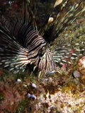 Lionfish Volitans Hunting Royalty Free Stock Photos