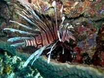 Lionfish Volitans nel riposo Immagini Stock Libere da Diritti