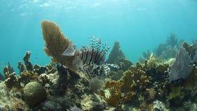 Lionfish w morzu karaibskim zbiory