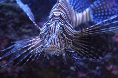 lionfish w wodzie morskiej Obraz Royalty Free