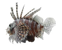 Lionfish in white back Stock Image