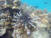 Lionfish white brown on stone Stock Photography