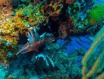 Lionfish (Pterois) near coral,s Cayo Largo, Cuba Royalty Free Stock Photos