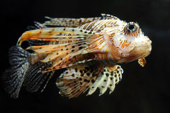 Lionfish zebrafish underwater Royalty Free Stock Photos