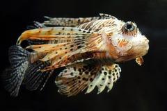Lionfish zebrafish underwater. Close-up photo of lionfish zebrafish underwater Royalty Free Stock Photos