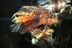 Lionfish zebrafish underwater. Close-up photo of lionfish zebrafish underwater Stock Image