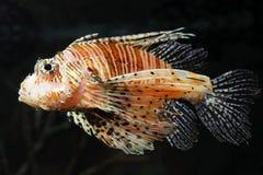 Lionfish zebrafish underwater. Close-up photo of lionfish zebrafish underwater Stock Images