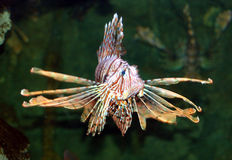 Lionfish3. Marine fish called lionfish displaying colorful fins with strips of red and white Stock Photo