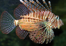 Lionfish4. Marine fish called lionfish displaying colorful fins with strips of red and white Royalty Free Stock Image