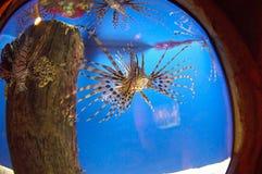 lionfishbehållare royaltyfria bilder