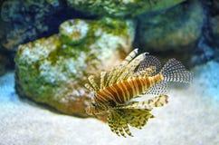 Lionfishen i behållare på akvariet i beautifulLionfish för korallbakgrund, som har inga naturliga rovdjur i Atlanten, hotar mycke arkivfoton
