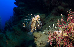Lionfishes Stock Images