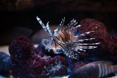 lionfishes pterois volitans Στοκ φωτογραφία με δικαίωμα ελεύθερης χρήσης