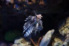 lionfishespteroisvolitans Royaltyfria Foton