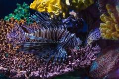 Lionfishinvasie in de Caraïben royalty-vrije stock foto's
