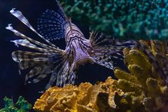 Lionfishinvasion i det karibiskt royaltyfri foto