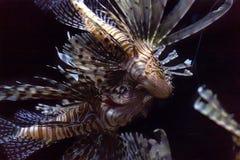 Lionfishinvasion i det karibiskt royaltyfria foton