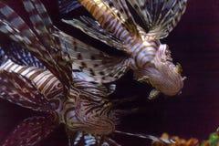 Lionfishinvasion i det karibiskt arkivbild