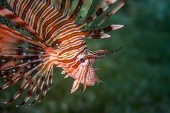 Lionfishprofiel Stock Foto's