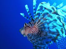 lionfishprofil Royaltyfria Foton