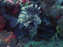 Lionfishschwimmen nahe den gili Inseln in Indonesien Stockfotografie
