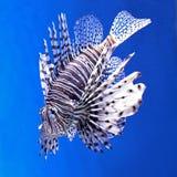 Lionfish (Pterois) Arkivfoton