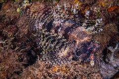 Lionfishsimning i Gili, Lombok, Nusa Tenggara Barat, Indonesien undervattens- foto Royaltyfri Fotografi
