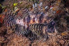 Lionfishsimning i Gili, Lombok, Nusa Tenggara Barat, Indonesien undervattens- foto Royaltyfri Foto