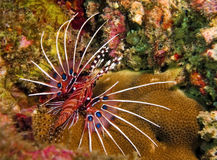 lionfishspotfin Royaltyfri Bild