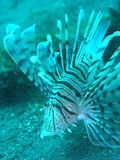 Lionfisk Royaltyfria Bilder